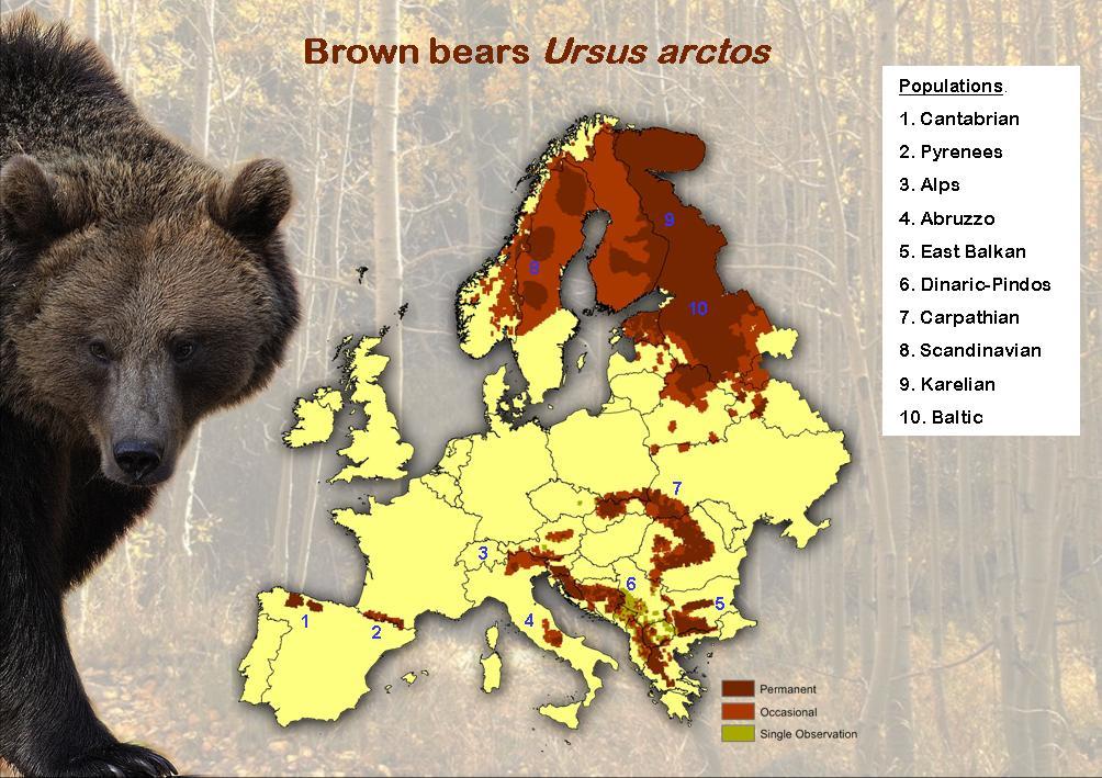 Medvede Na Slovensku Medveď Na Slovensku Bears Slovakia